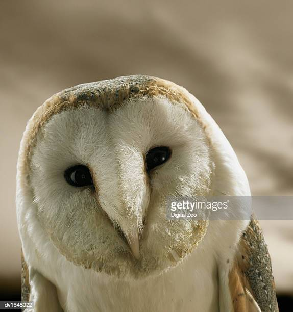 Barn Owl Staring at the Camera