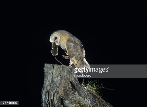 Barn Owl with Rat : Stock Photo