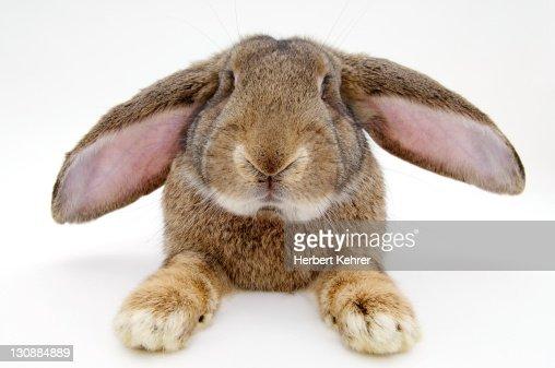 Barn rabbit, Deutscher Riese breed (Lagomorpha)