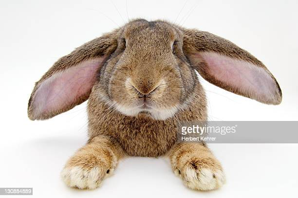 Barn rabbit, Deutscher Riese breed (Lagomorpha)