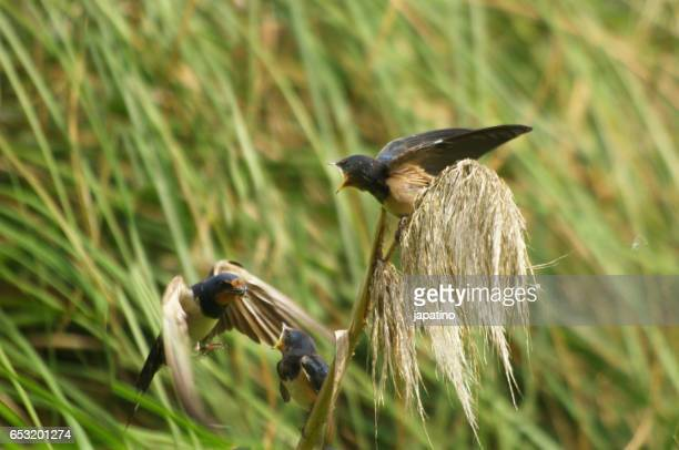 Barn swallow (hirundo rustica) feeding one of his chickens with insects