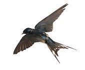 Barn Swallow, Hirundo rustica, lying against white background