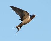 Barn Swallow flying through a clear blue sky.