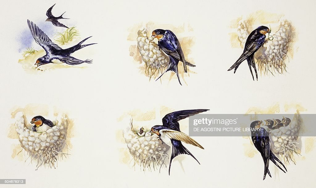 Barn Swallows during breeding season, nest building, brooding and raising the young (Hirundo rustica), Hirundinidae, drawing.