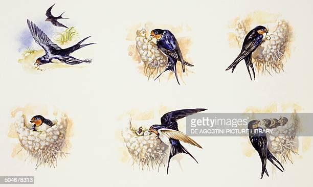 Barn Swallows during breeding season nest building brooding and raising the young Hirundinidae drawing
