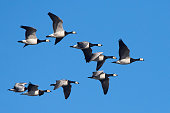 Barnacle geese in flight with blue skies in the background