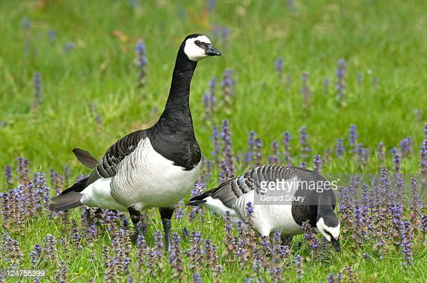 Barnacle goose stock photos and pictures getty images for Oiseaux de france