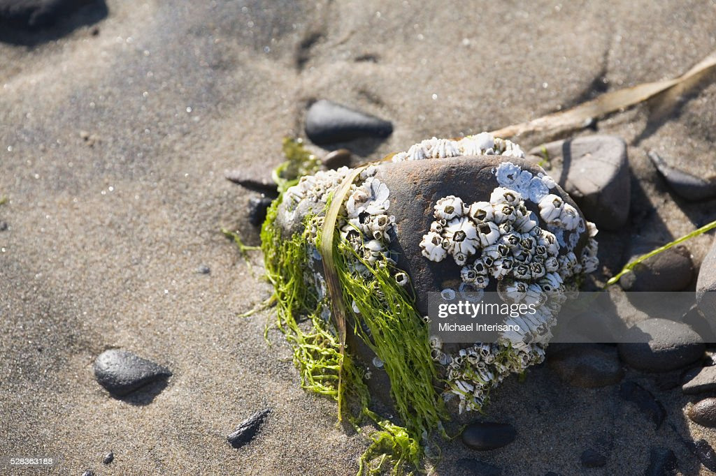 Barnacles And Seaweed On A Rock On The Beach; Lincoln City Oregon United States Of America