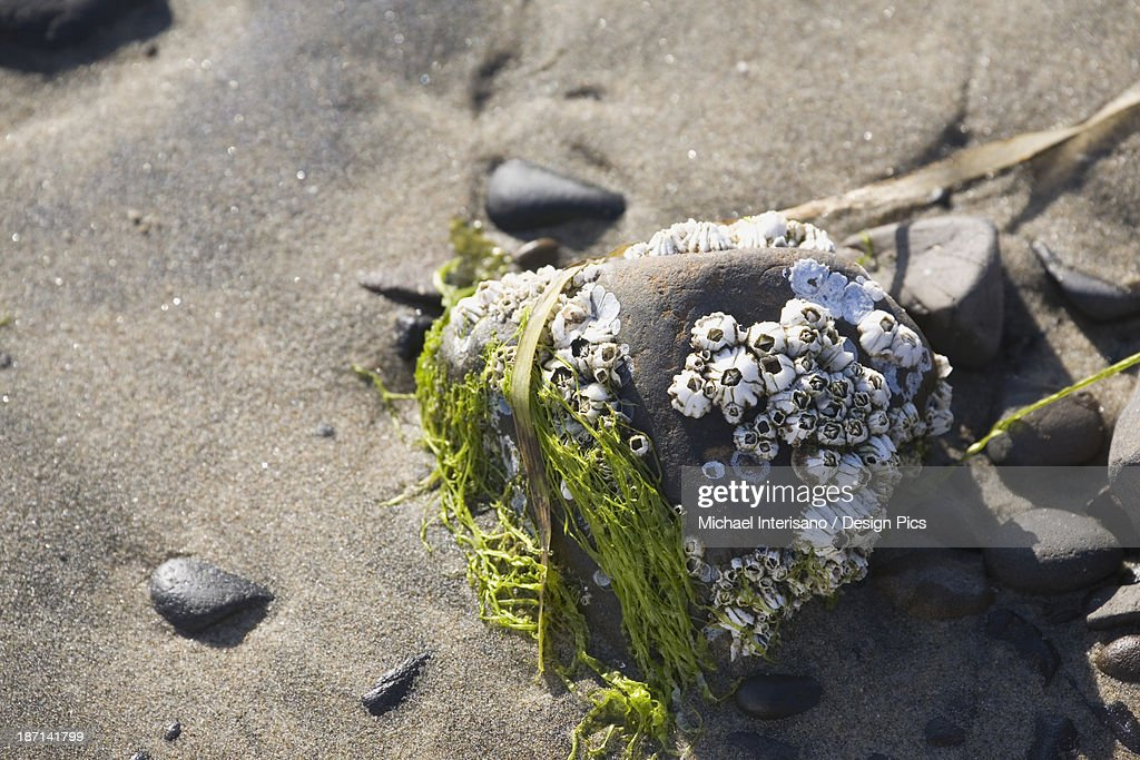 Barnacles And Seaweed On A Rock On The Beach : Stock Photo