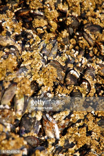 Barnacles at the Setting Sun : Foto stock