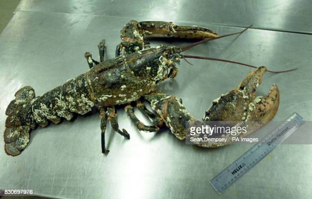 Barney the one metre long lobster at the London Aquarium in central London by a 30 centimetre ruler * Barney was saved from the cooking pot after...
