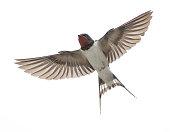 barnswallow spread wings