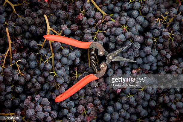Barolo  grape harvest