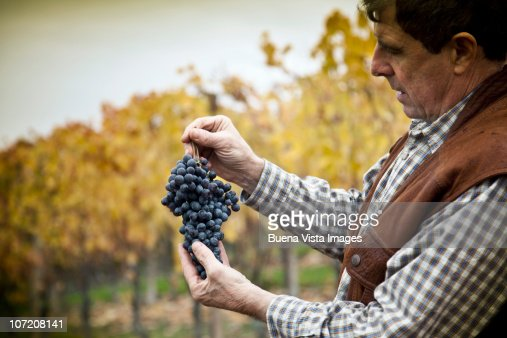 Barolo  grape harvest