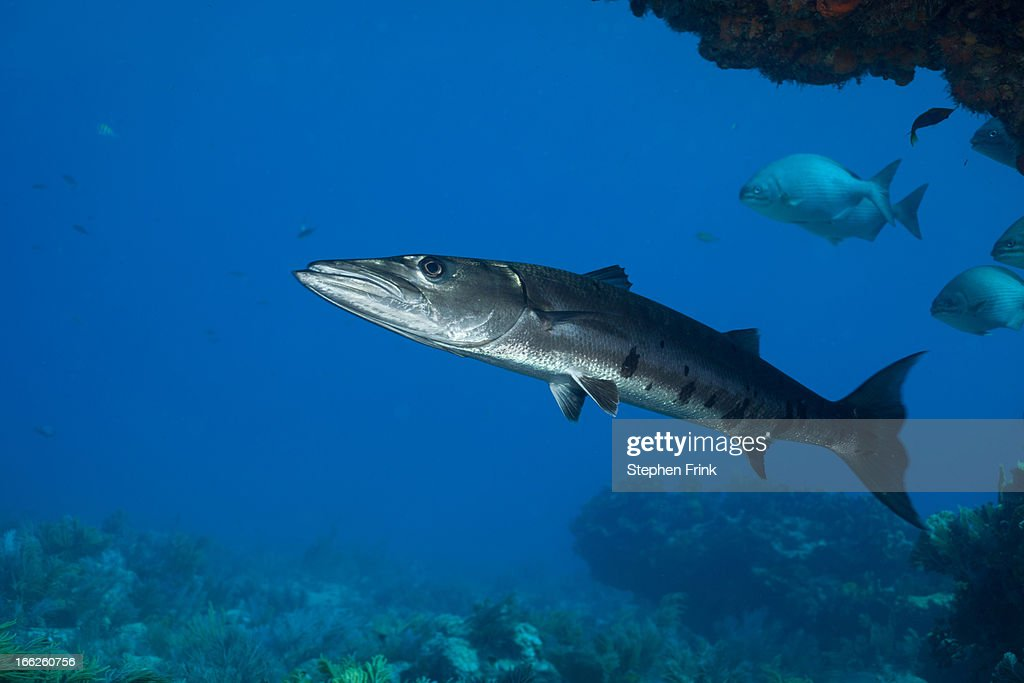 Barracuda on coral reef : Stock Photo