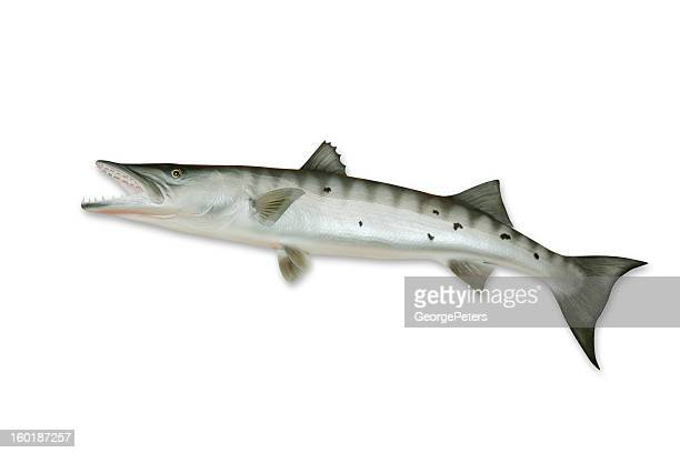 Barracuda with Clipping Path