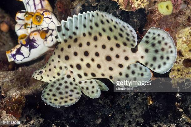 Barramundi Cod Cromileptes altivelis Lembeh Strait North Sulawesi Indonesia