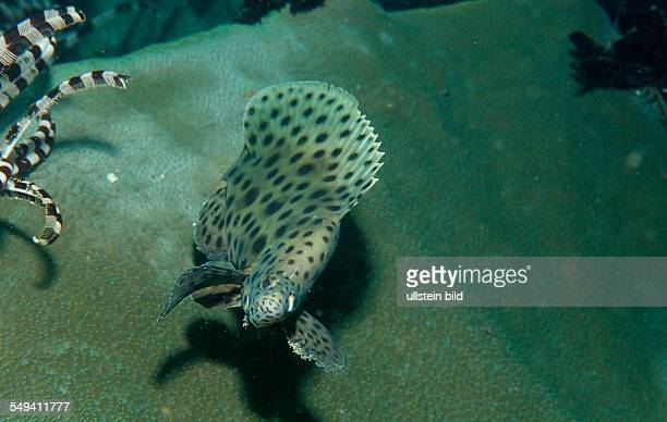 Barramundi cod Cromileptes altivelis Malaysia Südchinesisches Meer South chinies sea Layang layang