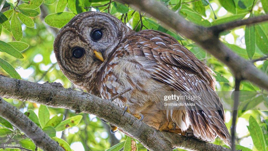 Barred Owl Looking Down - Strix varia
