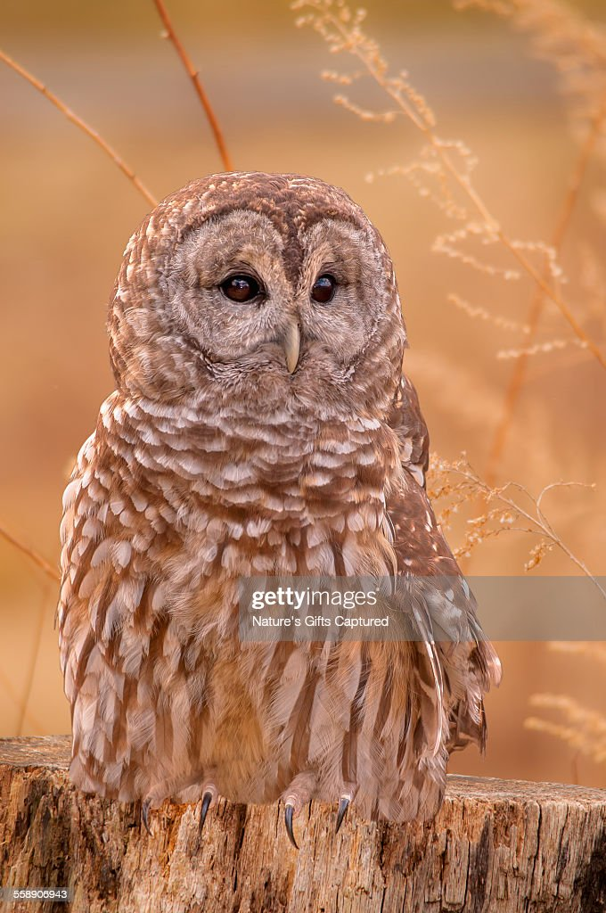 Barred Owl on the Stump
