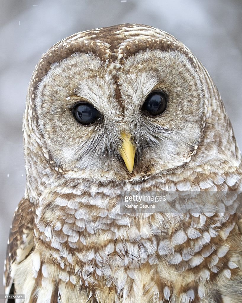 Barred Owl, Up Close and Personal