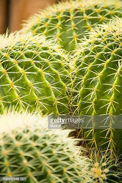 Barrel cactus (Echinocactus), close-up