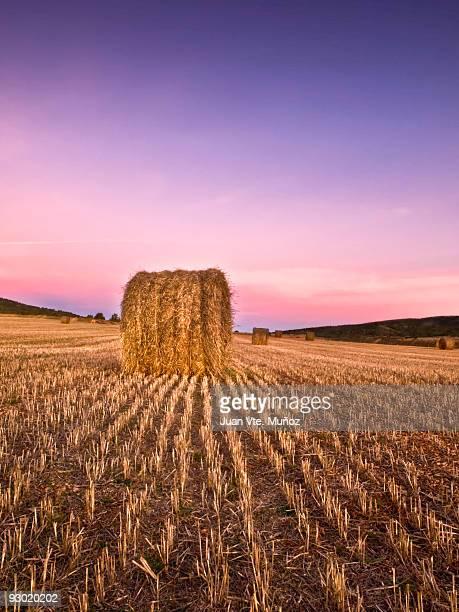 Barrels of wheat in field