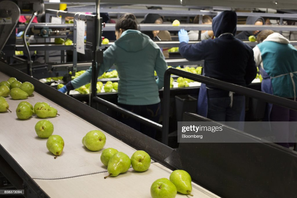 Bartlett pears move along a conveyor belt as worker sort fruit at the Stemilt Growers packing facility in Wenatchee, Washington, U.S., on Wednesday, Sept. 20, 2017. Smoke from wildfires in the Cascade Mountains troubled pear pickers in the Wenatchee Valley and Northcentral Washington in mid September. However it benefits the fruit by cooling down temperatures and tends to delay maturity. Photographer: David Ryder/Bloomberg via Getty Images