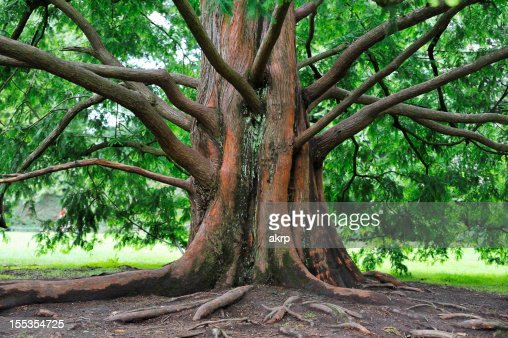 Base of an large sequoia tree with many branches