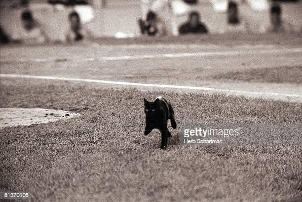 Baseball Animal black cat walking across field at Shea Stadium during Chicago Cubs vs New York Mets game Flushing NY 9/8/1969