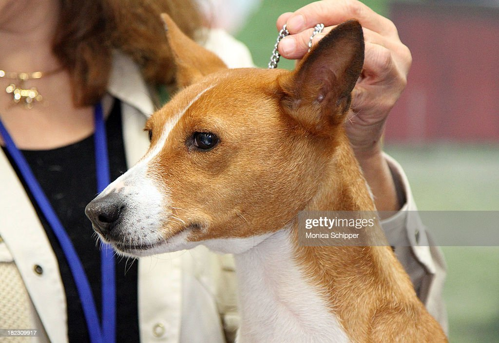 Basenji at the American Kennel Club 'Meet The Breeds' Event at Jacob Javitz Center on September 28 2013 in New York City