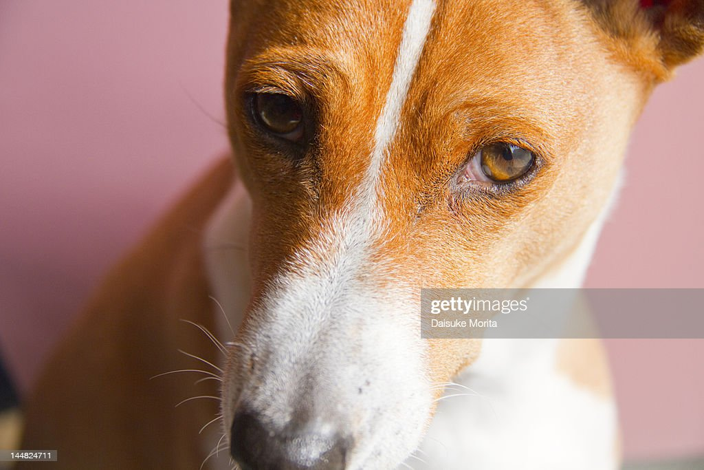 A Basenji dog : Stock Photo
