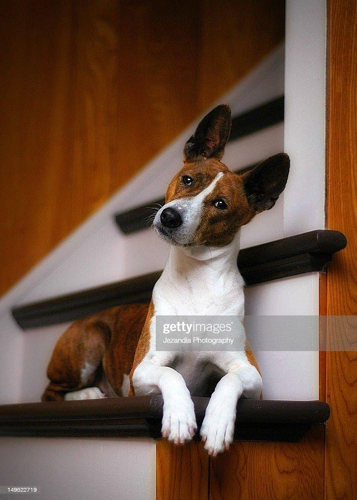 Basenji dog : Stock Photo