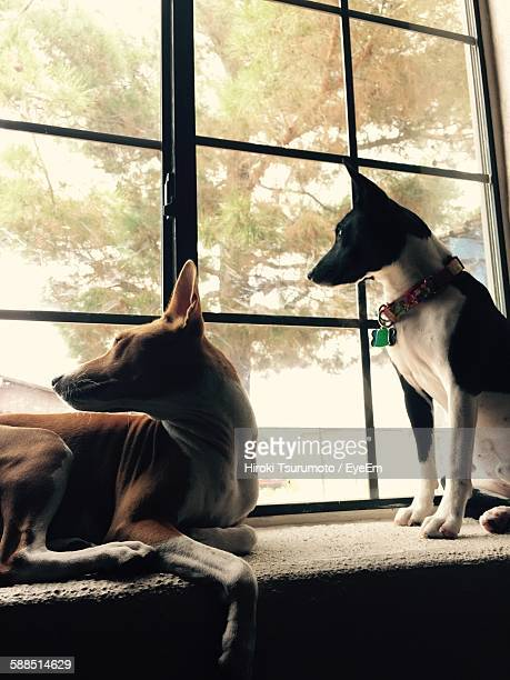 Basenji Dogs Relaxing On Window Sill