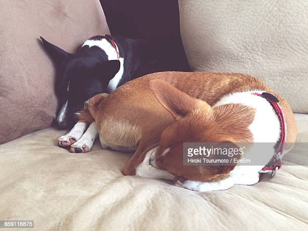 Basenji Dogs Resting On Bed At Home