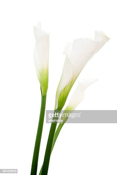 Basic close-up shot of calla lilies