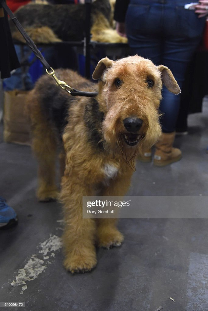 Basil, a seven year old male Airedale Terrier attends the 7th Annual AKC Meet The Breeds at Pier 92 on February 13, 2016 in New York City.
