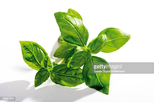 Basil (Ocimum basilicum) against white background, close-up