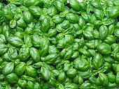 Top view of fresh basil plants.