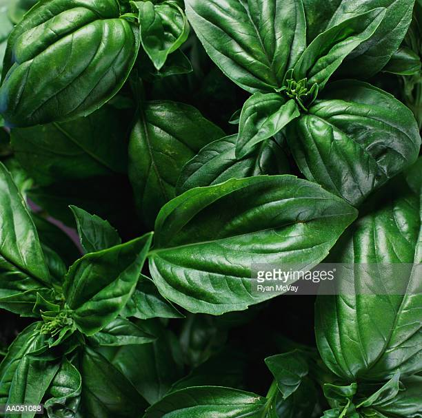 Basil, close-up