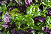 leaves are green and purple basil