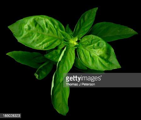 Basil Leaves Close Up On Black Background Stock Photo ...