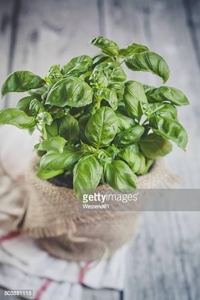 Basil, Ocimum basilicum, sort Genovese, in a plant pot