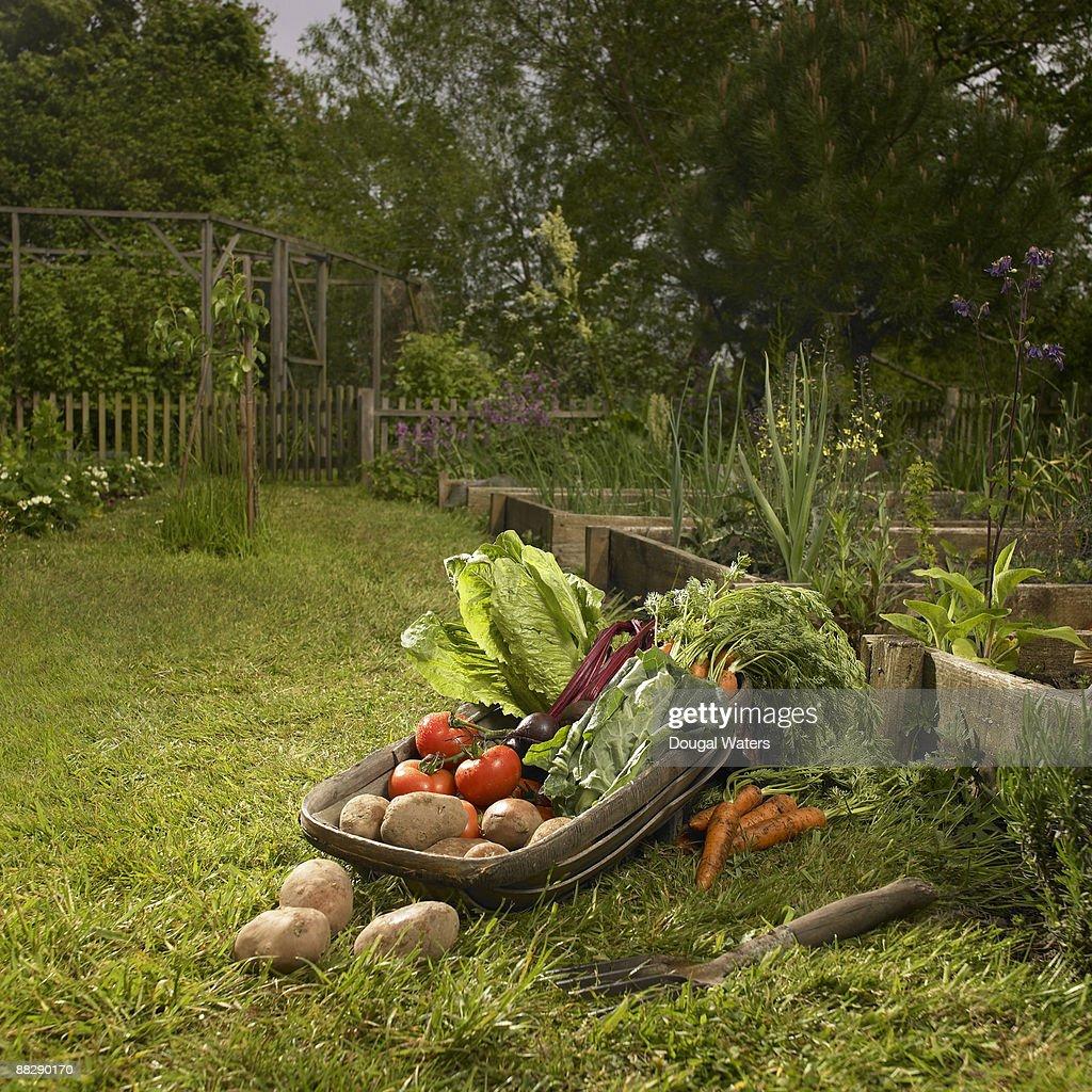 Basket full of fresh vegetables in garden.