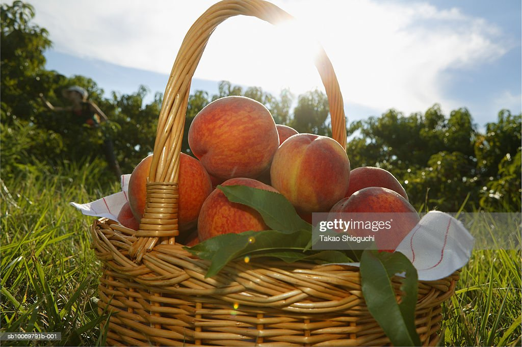 Basket full of peaches on grass : Stock Photo