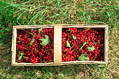 A wooden wicker basket with a branch with green leaves on it is filled with ripe juicy red currants in the background of green grass in summer.