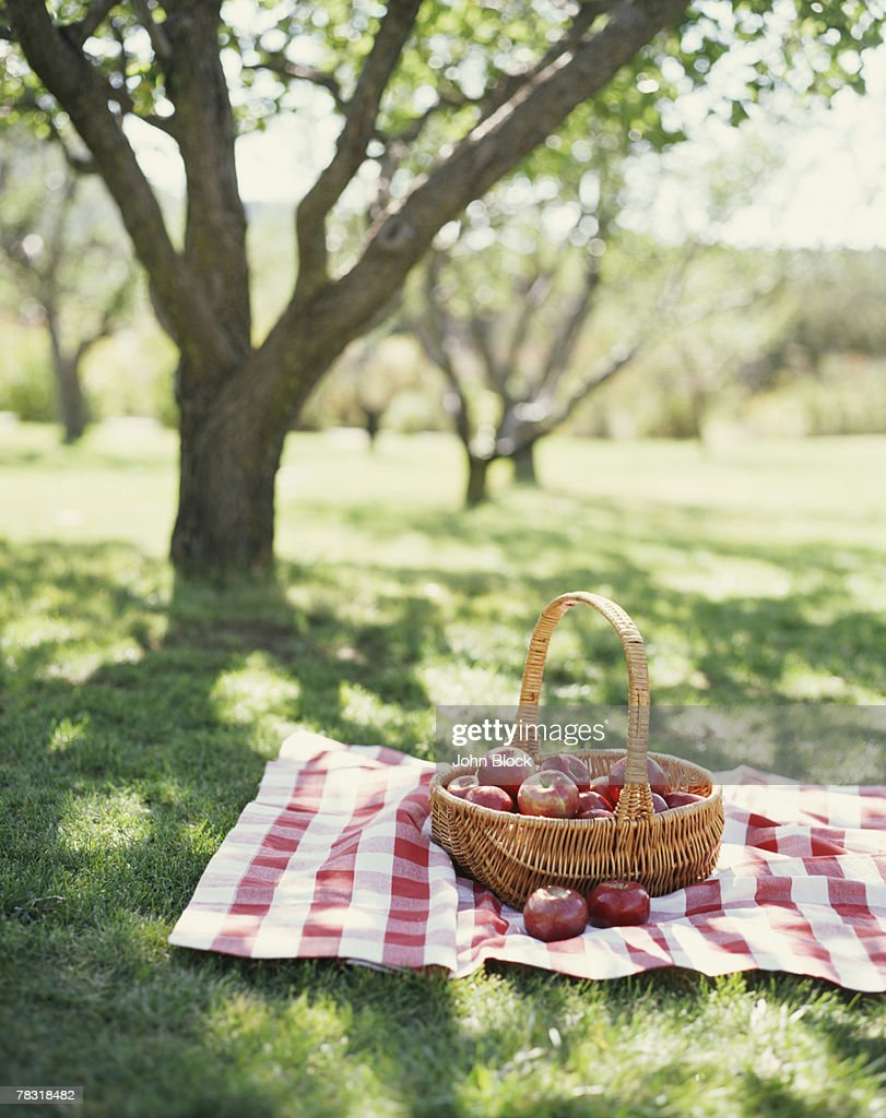 Basket of Apples in Orchard : Stock Photo