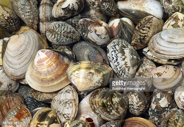 A basket of clams seen at Shinmaiko Beach on May 3 2014 in Himeji Japan Clam digging is one of the popular leisure activities during the Golden Week...