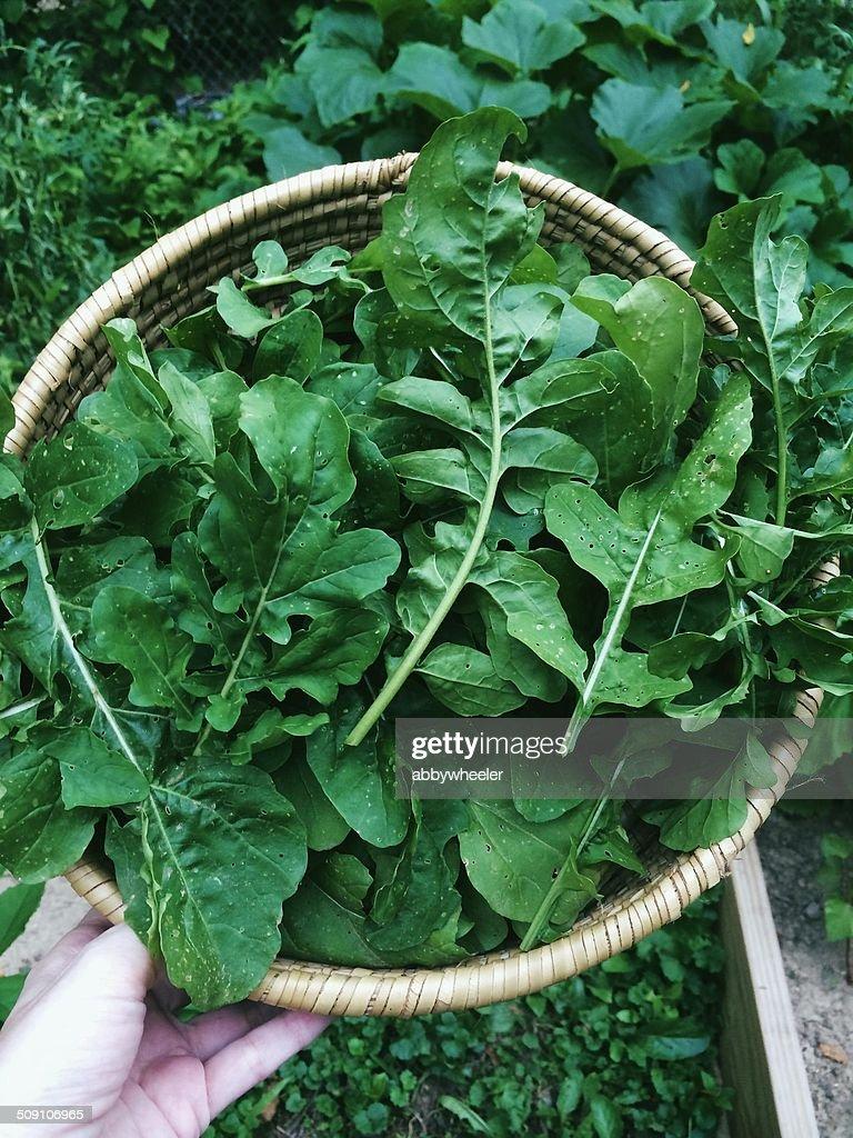 Basket of freshly picked arugula