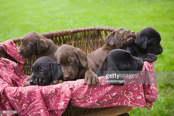 Basket of labrador retriever puppies